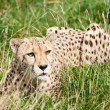 Stock Photo: Cheetah Crouching Amongst Long Grass
