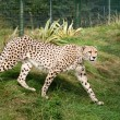 Cheetah Pacing through Grass in Enclosure — Stock Photo #12577667