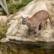 Puma Crouching About to Jump off Rock — Stok fotoğraf