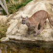 Puma Crouching About to Jump off Rock — Stock Photo