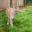 Prowling Puma Licking Lips in Enclosure — Stock Photo