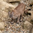 Puma on Rock Crouching Ready to Pounce — Stock Photo