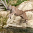 Puma Leaping Off a Rock over Water — Stock Photo