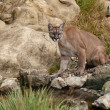 Puma Sitting on Rocks — Stock Photo