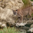 Puma Standing Staring on Rocks — Stock Photo