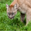 Head Shot of Puma with Beautiful Eyes — Stock Photo