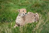 Cheetah liggen in lange gras — Stockfoto