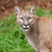 Head Shot Portrait of Beautiful Puma — Stock Photo