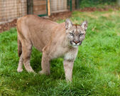 Puma Stalking Through Enclosure — Stock Photo