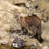 Puma Camouflaged on Rocks Looking Up — Stock Photo