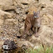 Puma Standing on Rock Gazing Upwards — Stock Photo
