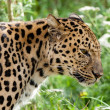 Profile Head Shot of Back Lit Amur Leopard — Stock Photo