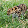 Amur Leopard Prowling through Long Grass — Stock Photo #12735838