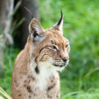 Head Shot Portait of Eurasian Lynx against Greenery — Stock Photo
