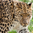 Head Shot of Amur Leopard Stalking Forwards — Stock Photo #12736078