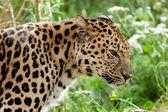 Profile Head Shot of Back Lit Amur Leopard — Stock Photo