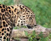 Side View Head Shot of Beautiful Amur Leopard — Stock Photo