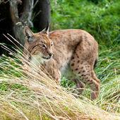 Eurasian Lynx Prowling through Long Grass — Stock Photo