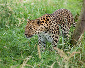 Amur Leopard Prowling through Long Grass — Stock Photo