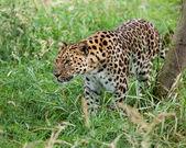 Amur Leopard Prowling through Long Grass — Stock Photo