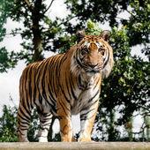 Mature debout de tigre du bengale sur plate-forme en bois — Photo