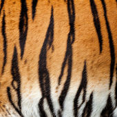 Real Live Tiger Fur Stripe Pattern Background — Stock Photo