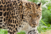 Head Shot of Amur Leopard Stalking Forwards — Stock Photo