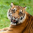 Head Shot of Growling SumatrTiger — Stock Photo #12897554