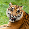 Stock Photo: Head Shot of Growling SumatrTiger