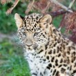 Head Shot of Adorable Baby Amur Leopard Cub - Stock Photo