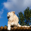 White Lion on Wooden Platform Looking Up at Blue Sky — Stock Photo