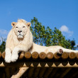White Lion lying on Wooden Platform in Sunshine — Stock Photo #13832313