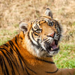 Head Shot of Growling Sumatran Tiger — Stock Photo