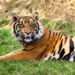 Curious SumatrTiger Lying in Grass — Stock Photo #13832322