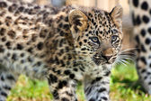 Close up of Cute Baby Amur Leopard Cub — Stock Photo