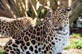 Mother Amur Leopard Protecting Cub in the Background — Stock Photo