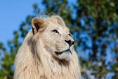 Head Shot Portrait of White Lion against Trees — Stock Photo