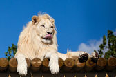 White Lion on Wooden Platform Licking Nose — Stock Photo