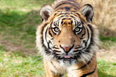 Close up Head Shot of Sumatran Tiger — Stock Photo