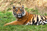 Curious Sumatran Tiger Lying in the Grass — Stock Photo