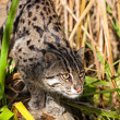 Fishing Cat Stalking through Long Grass — Stock Photo #13863113