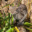 Fishing Cat Hunting in Long Grass — Stock Photo #13863116