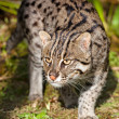 Fishing Cat Prowling in Afternoon Sunshine — Stock Photo
