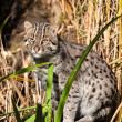 Fishing Cat Standing in Long Grass — Stock Photo #13863123