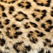Real Live North Chinese Leopard Skin Texture Background — Stock Photo #13863124