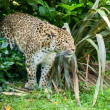 North Chinese Leopard Stalking through Bush — Stock Photo #13863130