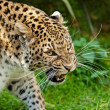 Snarling Angry North Chinese Leopard Large Whiskers — Stock Photo #13863135