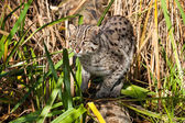 Fishing Cat Hunting in Long Grass — Stock Photo