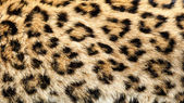 Real Live North Chinese Leopard Skin Texture Background — Stock Photo