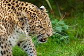 Snarling Angry North Chinese Leopard Large Whiskers — Stock Photo